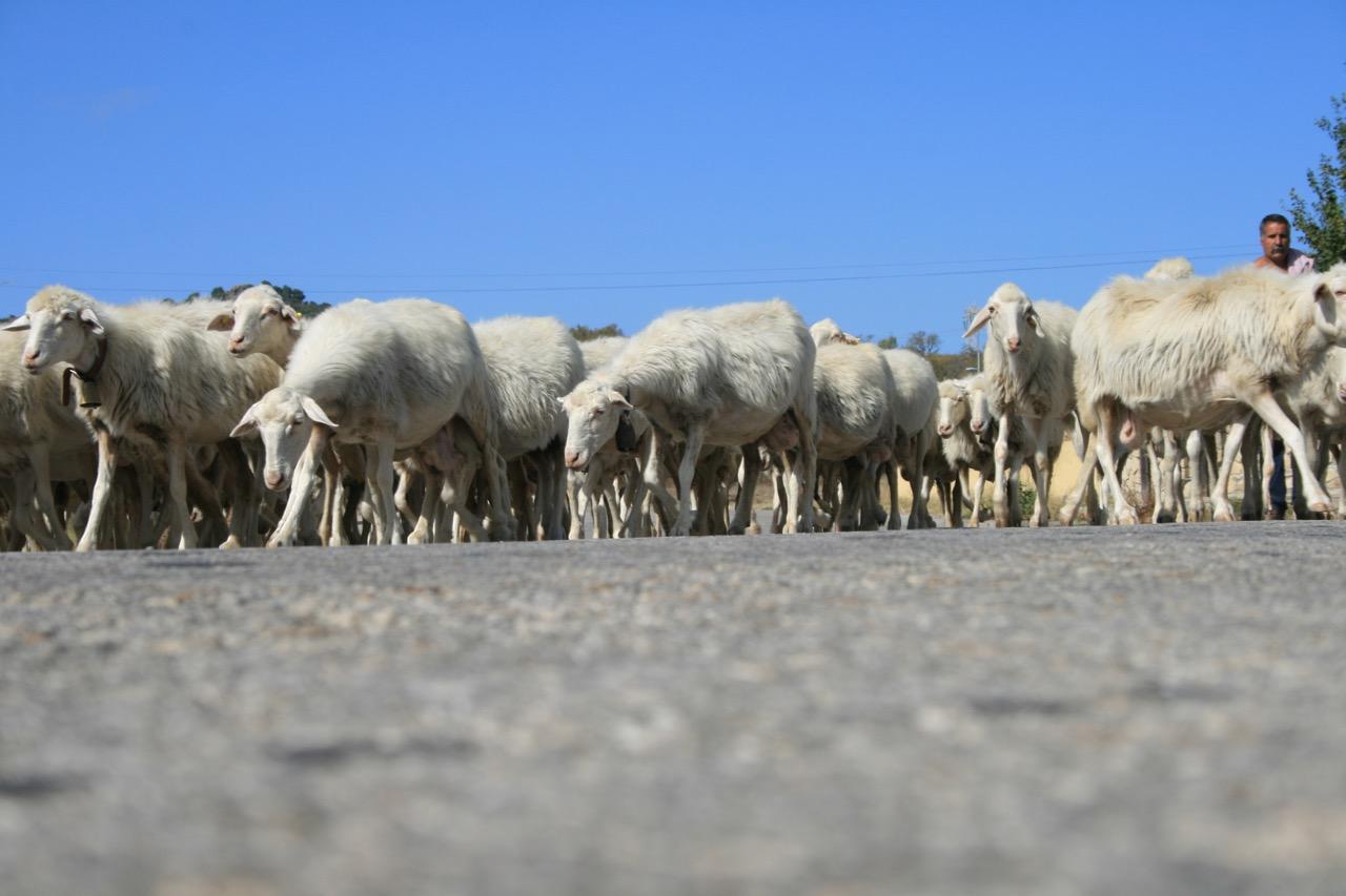 Fachreisen: Schafe und Wein, die Säulen der Insel