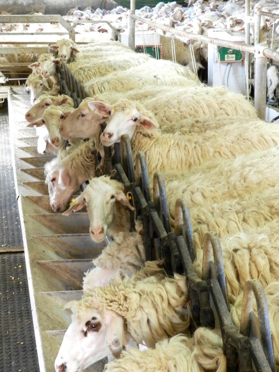 Schafe im Melkstand der Fattoria Su Grabiolu im Oristanese
