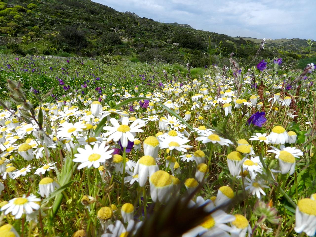 Trekking durch Kamillenwiesen, hier auf der Isola dell'Asinara
