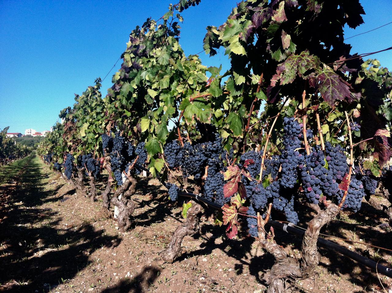 Fertig zur Weinernte / Vendemmia: Carignano del Sulcis